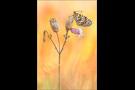 Roter Scheckenfalter 06 (Melitaea didyma)