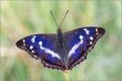 Großer Schillerfalter (Apatura iris) 03