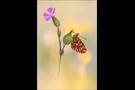 Silberfleck-Perlmutterfalter (Boloria euphrosyne) 01