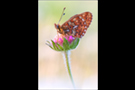 Silberfleck Perlmutterfalter (Boloria euphrosyne) 02