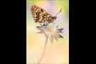 Baldrian-Scheckenfalter (Melitaea diamina) 02