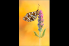 Sumpfwiesen-Perlmuttfalter (Boloria selene) 01