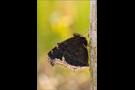 Trauermantel (Nymphalis antiopa) 01