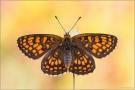 Wachtelweizen-Scheckenfalter 05 (Melitaea athalia)