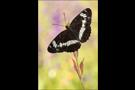 Kleiner Eisvogel 03 (Limenitis camilla)