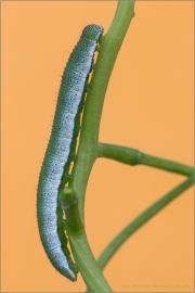 Raupe Aurorafalter (Anthocharis cardamines) 05