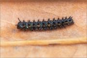 Sumpfwiesen-Perlmuttfalter Raupe (Boloria selene) 06
