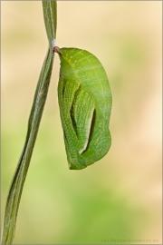 Großes Wiesenvögelchen Puppe (Coenonympha tullia) 08