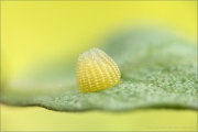 Kaisermantel Ei (Argynnis paphia) 01