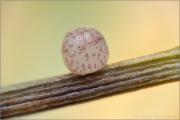Großes Wiesenvögelchen Ei (Coenonympha tullia) 02
