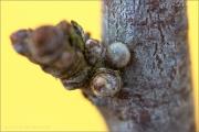 Kleiner Schlehenzipfelfalter Ei (Satyrium acaciae) 02