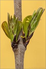 Zitronenfalter Eier (Gonepteryx rhamni) 07