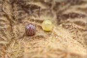 Schlüsselblumen-Würfelfalter 06 (Hamearis lucina)