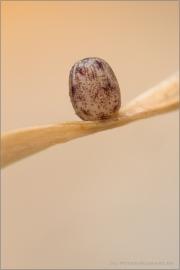 Rundaugen-Mohrenfalter Ei (Erebia medusa) 07