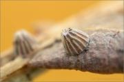 Feuriger Perlmuttfalter Ei (Fabriciana adippe) 06