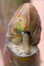 Blauer Eichenzipfelfalter 08 (Favonius quercus)