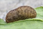 Violetter Feuerfalter (Lycaena alciphron) 04