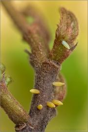 Zitronenfalter Eier (Gonepteryx rhamni) 08