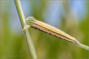 Kleine Rostbinde Raupe (Hipparchia statilinus) 01