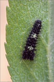 Segelfalter Raupe (Iphiclides podalirius) 08