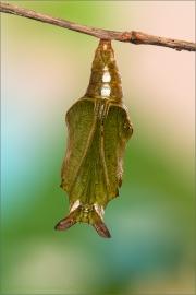 Puppe Kleiner Eisvogel 08 (Limenitis camilla)