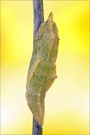 Kleiner Kohlweißling Puppe (Pieris rapae) 05