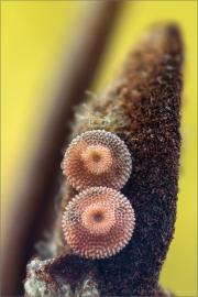 Spanischer Blauer Zipfelfalter Ei (Laeosopis roboris) 06