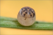 Braunauge Ei (Lasiommata maera) 05