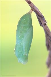 Mauerfuchs Puppe (Lasiommata megera) 05
