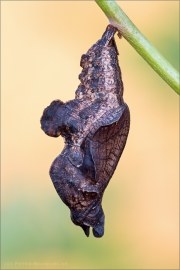 Blauschwarzer Eisvogel Puppe (Limenitis reducta) 06