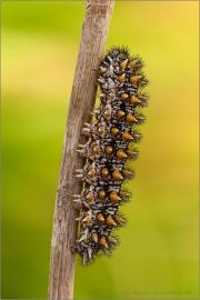 Wachtelweizen-Scheckenfalter Raupe 09 (Melitaea athalia)