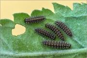 Südwestlicher Wachtelweizen-Scheckenfalter (Melitaea celadussa) 05