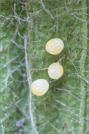 Wegerich-Scheckenfalter Eier (Melitaea cinxia) 14