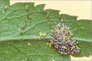 Wegerich-Scheckenfalter Ei-Raupen (Melitaea cinxia) 16