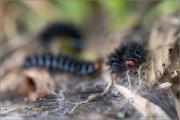 Wegerich-Scheckenfalter Raupe (Melitaea cinxia) 12