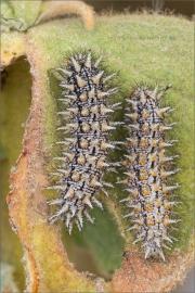 Bräunlicher Scheckenfalter Raupen (Melitaea trivia) 03