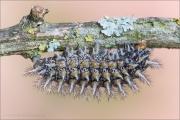 Bräunlicher Scheckenfalter Raupe (Melitaea trivia) 09