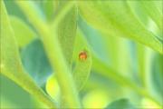 Schwalbenschwanz Ei (Papilio machaon) 02