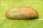 Weißdolch-Bläuling Puppe (Polyommatus damon) 01