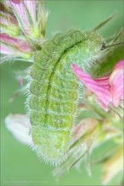 Weißdolch-Bläuling Raupe (Polyommatus damon) 03