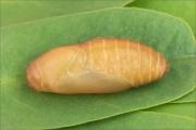 Zahnflügel-Bläuling Puppe (Polyommatus daphnis) 06