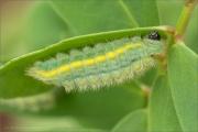 Zahnflügel-Bläuling Raupe (Polyommatus daphnis) 04