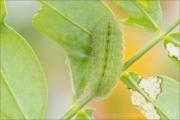 Hauhechel-Bläuling Raupe (Polyommatus icarus) 04