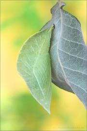 Großer Schillerfalter Puppe (Apatura iris) 06