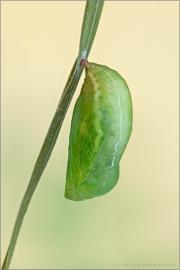 Großes Wiesenvögelchen Puppe (Coenonympha tullia) 07