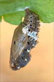 Kleiner Perlmutterfalter Puppe (Issoria lathonia) 01