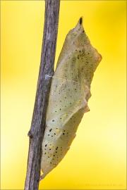 Kleiner Kohlweißling Puppe (Pieris rapae) 04