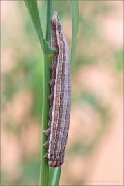Weißer Waldportier Raupe (Brintesia circe) 02