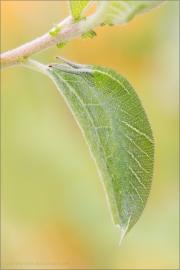 Großer Schillerfalter Raupe (Apatura iris) 05