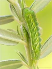 Grüner Zipfelfalter Raupe (Callophrys rubi) 05